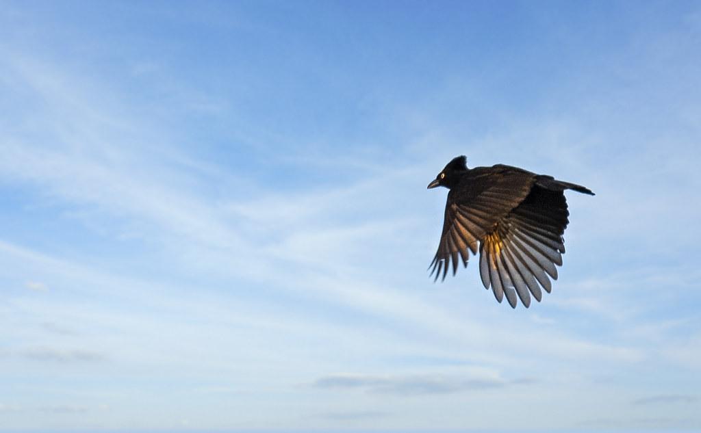 Cephalopterus ornatus - Amazonian Umbrellabird - Paragüero Ornado - Toropisco Amazónico 02
