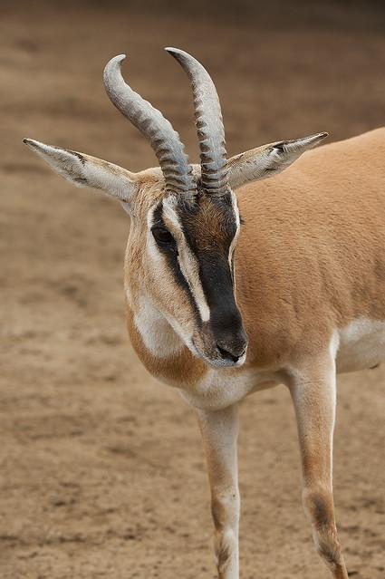 Nanger soemmerringii s. - Sudan Soemmerring's gazelle