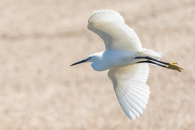 Little Egret. Abberton reservoir.