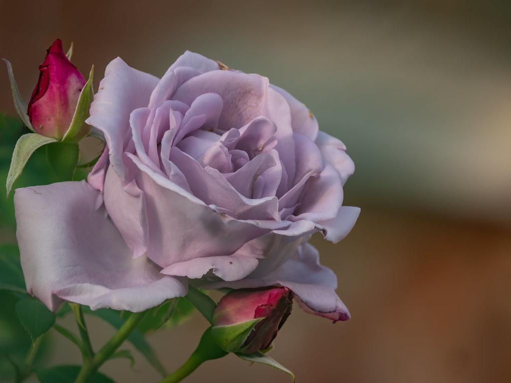 On est bien peu de chose et mon amie la rose... 49883859636_9aeb8bfde6_b