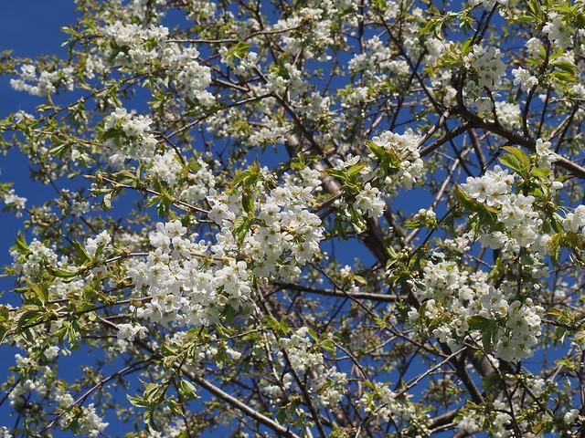 Prunus avium 'Arthur'