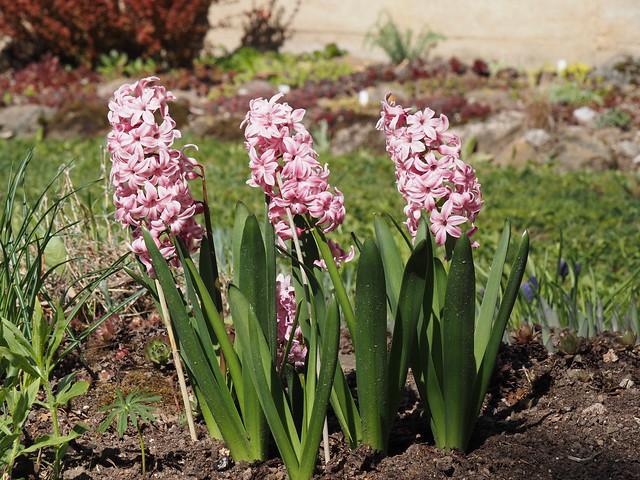 Hyacinthus orientalis 'Pink Pearl'