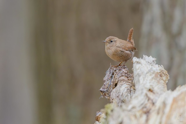 Troglodyte des forêts // Winter Wren