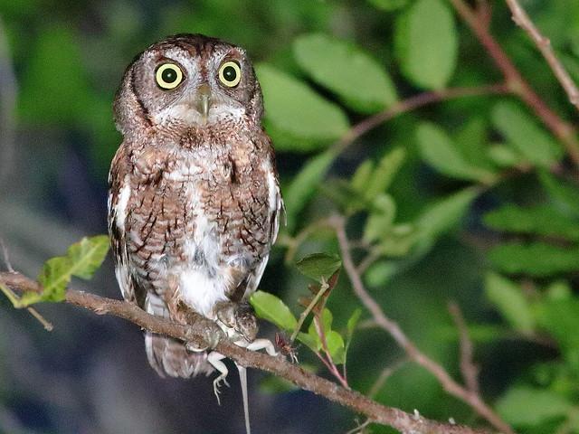 Eastern Screech-Owl 01-20200511