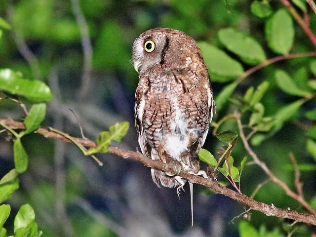 Eastern Screech-Owl 05-20200511