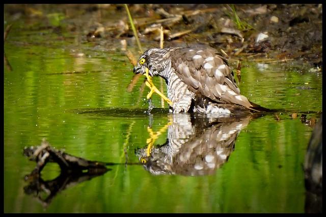 Sperber // Accipiter nisus // sparrow hawk