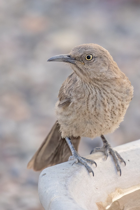 Curve-billed-Thrasher-28-7D2-050820