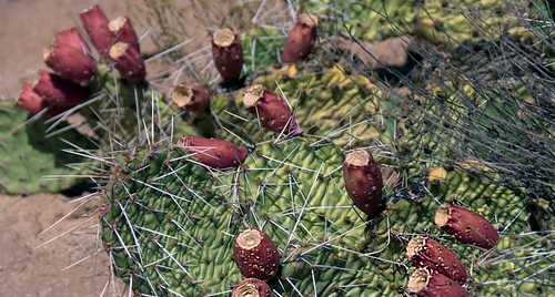 Very spiny prickly pear cactus with red fruiting 'tunas'