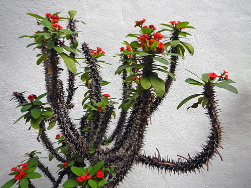 Spiny Crown of Thorns plant with red flowers in a Penang temple in Malaysia