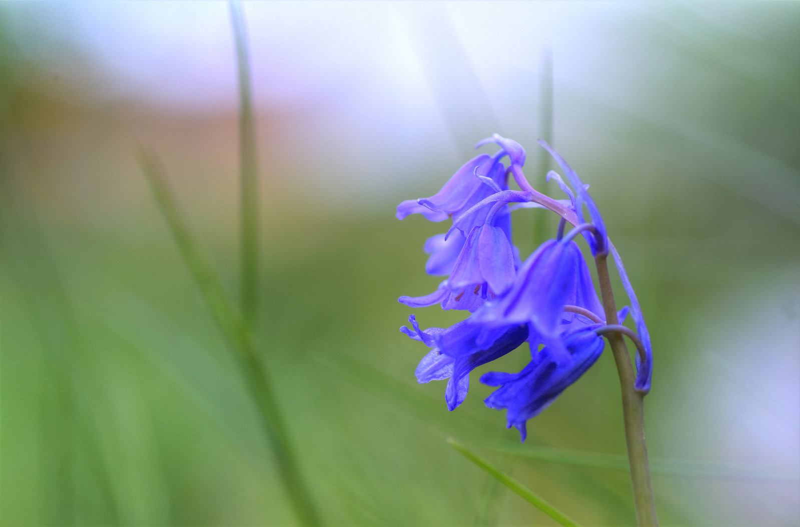 My Blue bells