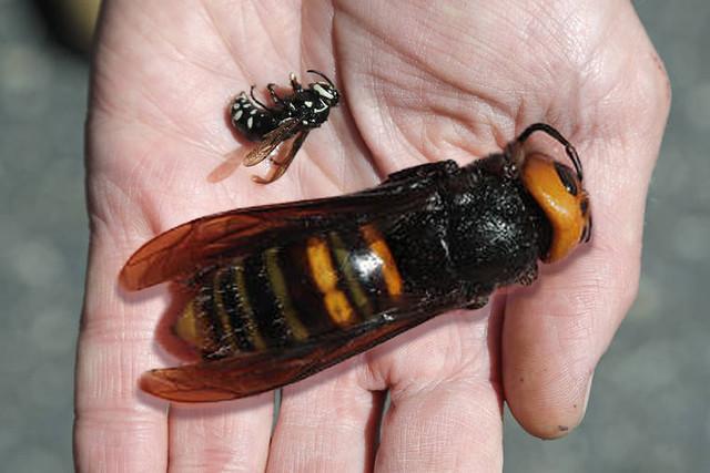 Macro Monday: The Giant Asian Murder Hornet arrives in Washington State, USA.