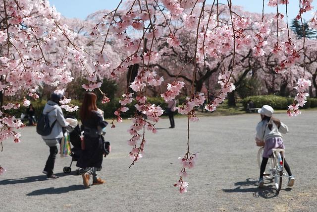 The season of Sakura 2020 , The second album  桜の季節 2020 ふたつめのアルバム