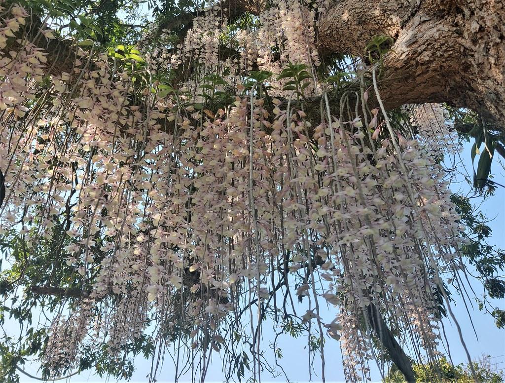 白河石斛蘭瀑布 (9)