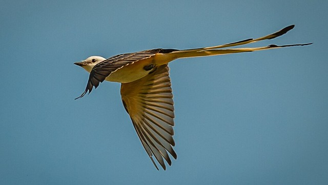 Male Scissor-tailed Flycatcher - in flight