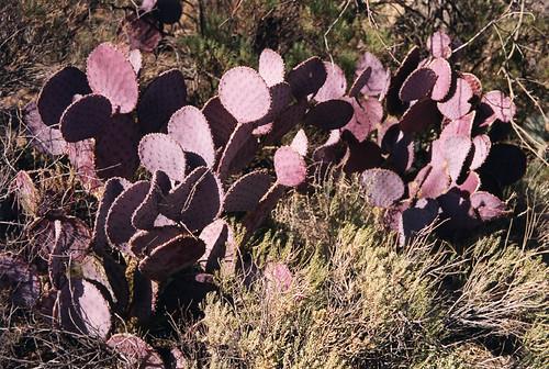 'cacto morado' a purple prickly pear cactus found in Arizona