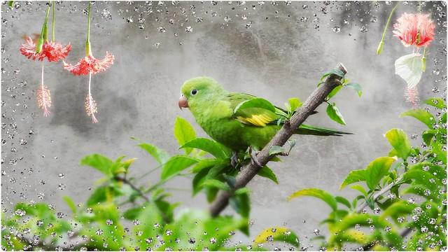 Periquito -  Parakeet