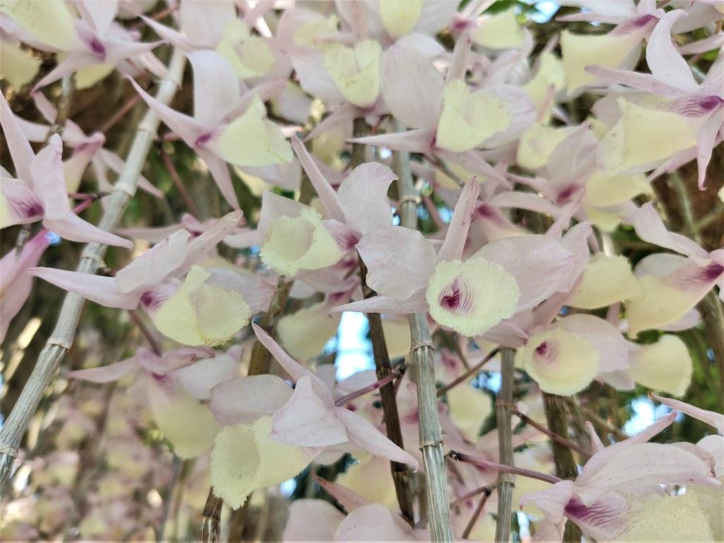 白河石斛蘭瀑布 (1)