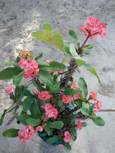 Spiny Crown of Thorns plant in bloom in Myanmar