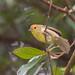 紅頭穗鶥 Rufous-capped Babbler