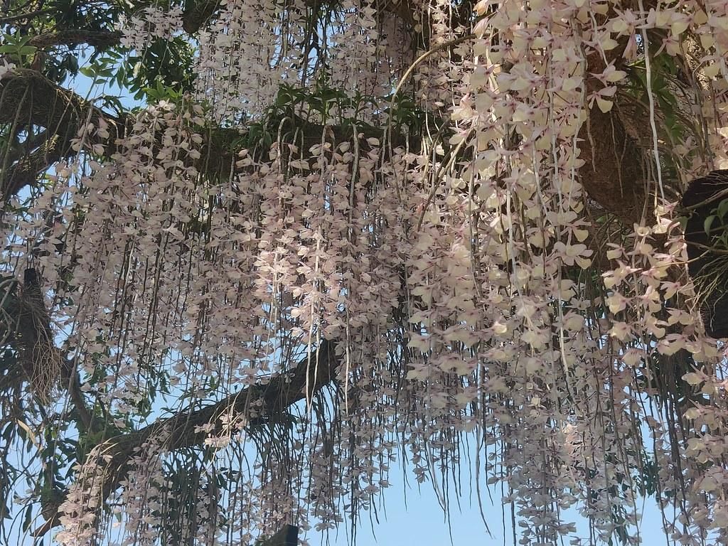白河石斛蘭瀑布 (10)