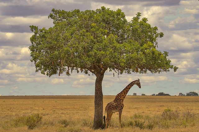 Lo spilungone / the tall boy (Serengeti National Park, Tanzania)(Explore!!!)
