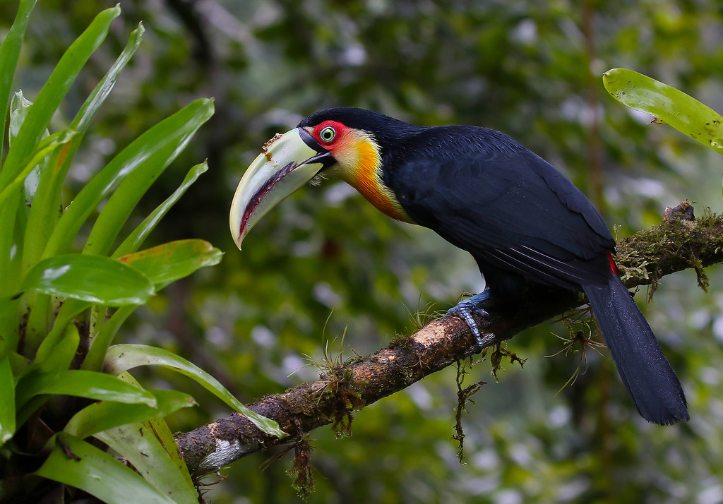 Tucano-de-bico-verde / Red-breasted Toucan