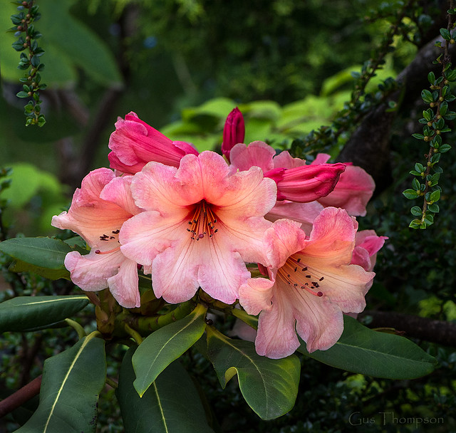 Rhododendron CIS