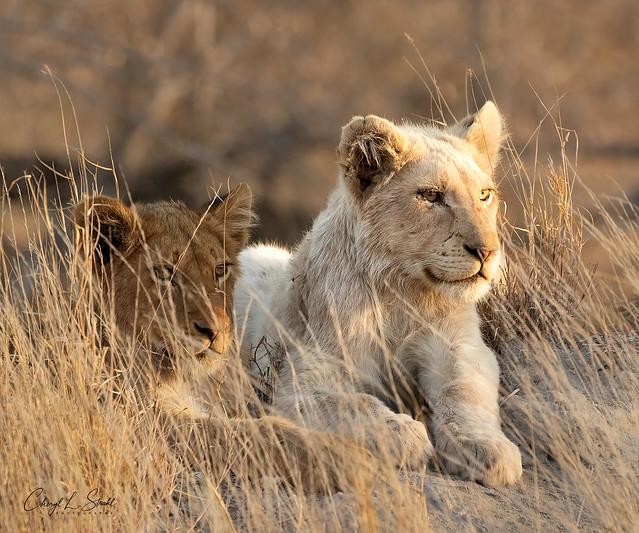 White Lion in Timbavati   (in Explore)
