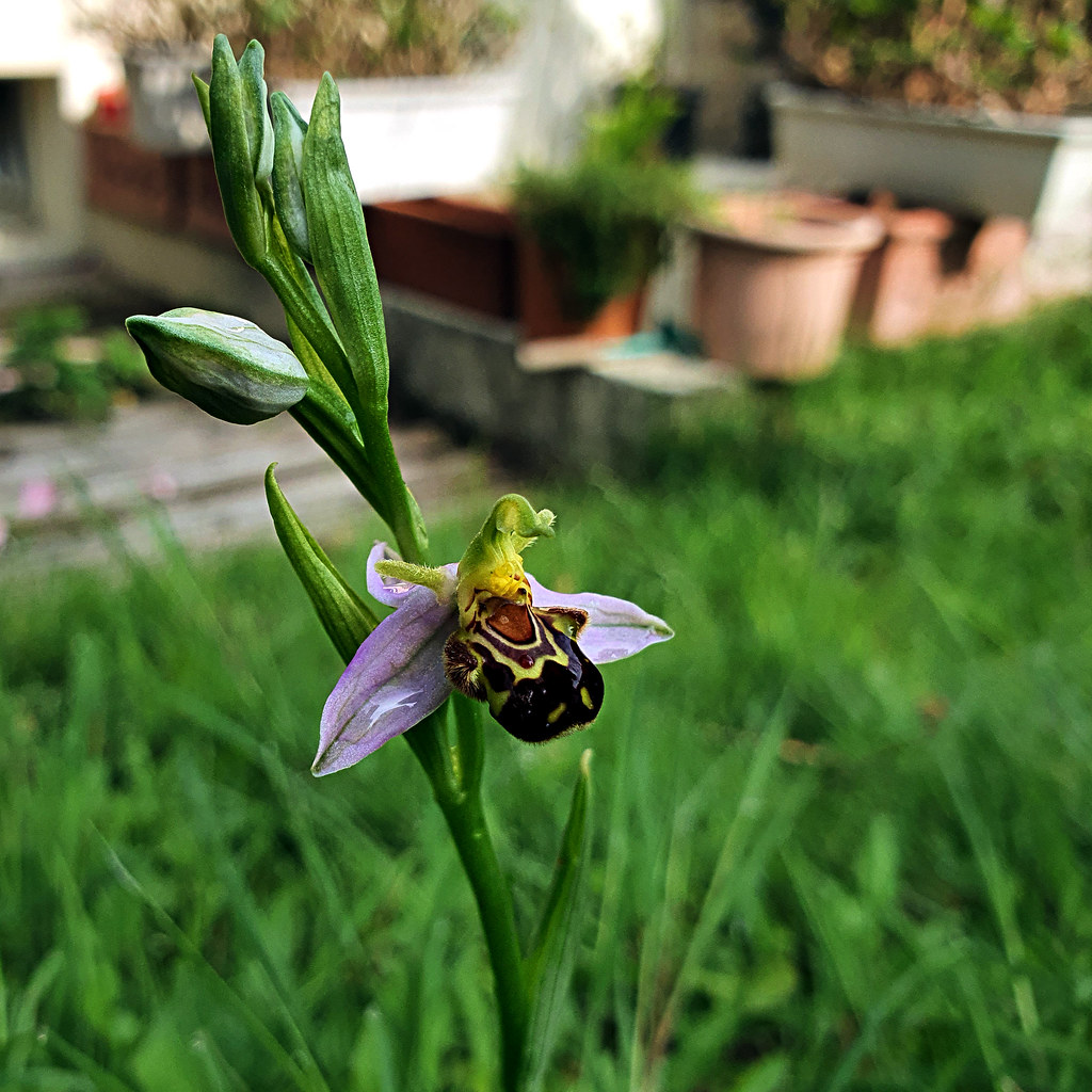 Ophrys Apifera, Angers, France