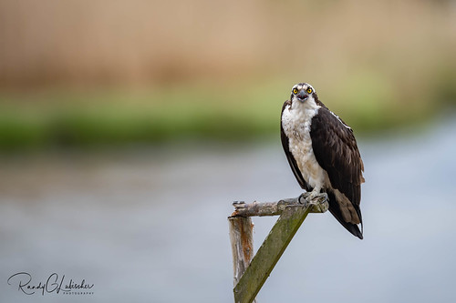 Osprey of the Jersey Shore | 2020 - 10