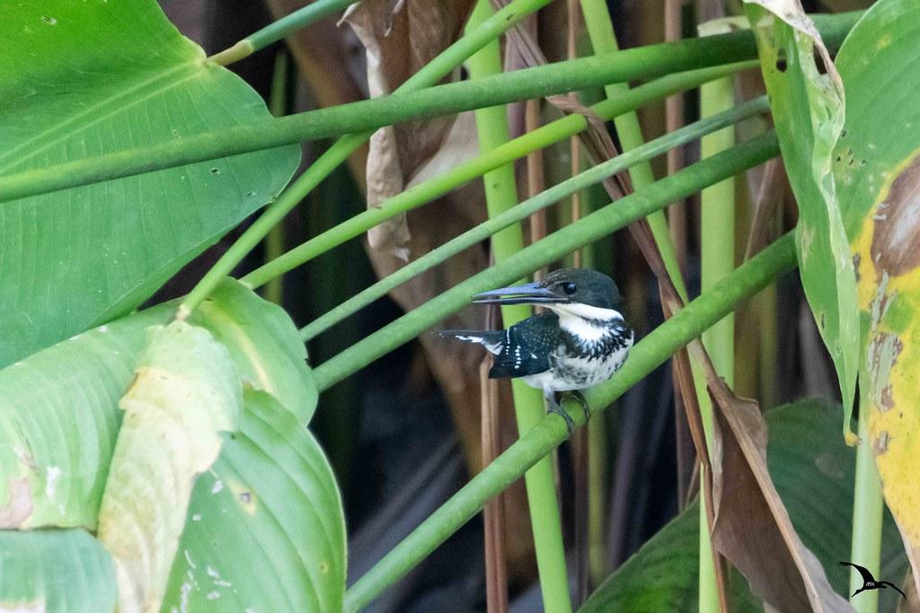 Martin-pêcheur d'Amazonie