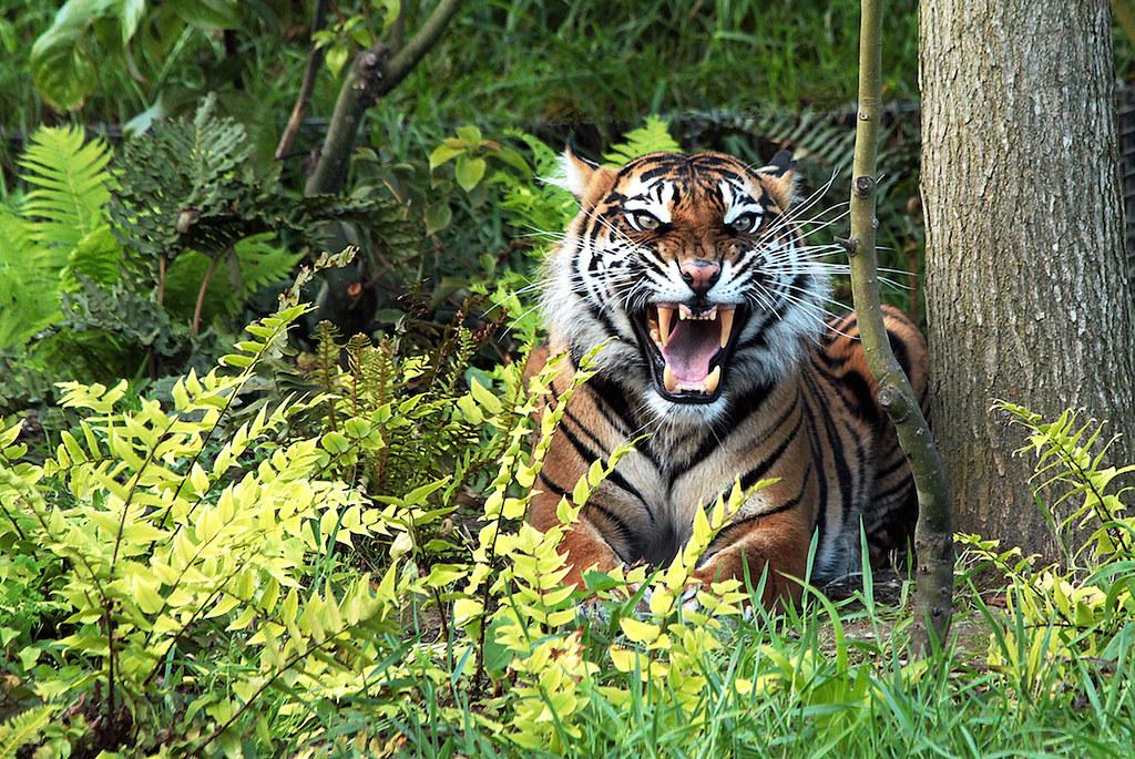 蘇門答臘殘存的森林,是許多瀕危特有物種的家,包括蘇門答臘虎(Panthera tigris sondaica)等。圖片來源:英國動物學會(Zoological Society of London)提供(Mongabay)