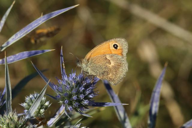 Small Heath (Coenonympha pamphilus), Kamenjak, Croatia