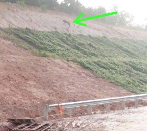 一隻老虎站在蘇門答臘廖內省正在施工的北乾巴魯-杜邁(Pekanbaru-Dumai)高速公路邊坡上。圖片來源:廖內省自然資源保護局(Riau Conservation Agency, BKSDA)提供(Mongabay)