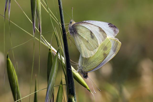 Accoppiamento farfalle______Mating butterflies