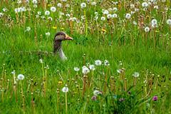 Goose in the Dandelion Heads