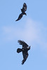 Crow harassing a Raven over Purdown today.