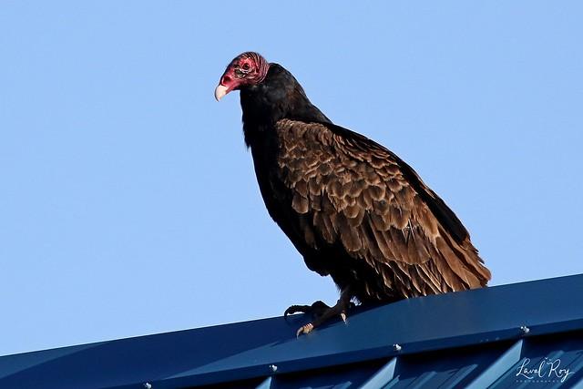 1.02254 Urubu à tête rouge / Cathartes aura septentrionalis / Turkey Vulture