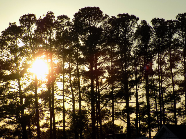Pine Trees As The Sun Sets.