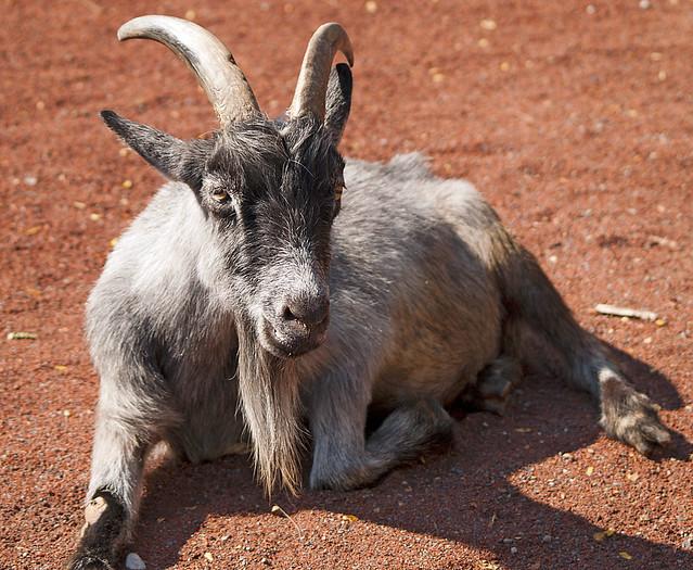 Louisville Zoo 09-07-2010 - Pygmy Goat 2