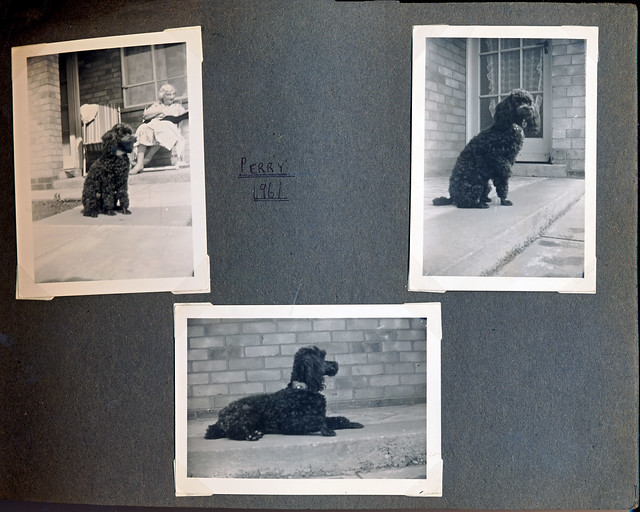 IMG_0029 MGS 1960s Photograph Album: Perry the three-legged Poodle Dog at Nana Francis Patchett RIP Kingerby Road Riddings Estate Scunthorpe North Lincolnshire 1961