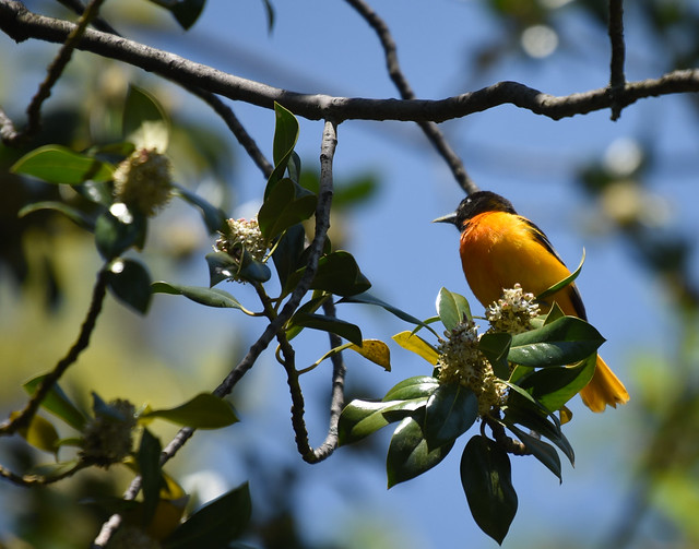 Baltimore Oriole seen earlier this month in the garden. Photo by Steven Severinghaus.