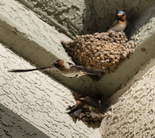 cliff_swallow_20200509_136