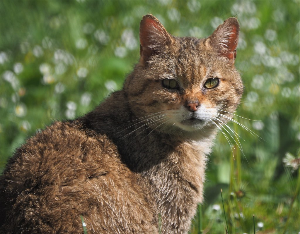 Wild Cat in the Wild Animal Park Alte Fasanerie in Hanau, Germany - May 12, 2020