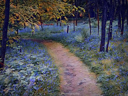 bluebells woods woodland forest nature wild outdoor grass flowers flora trees path trail journey art artwork