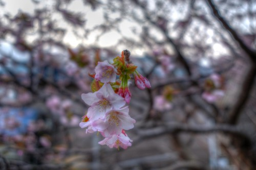 13-05-2020 sakura in morning (6)