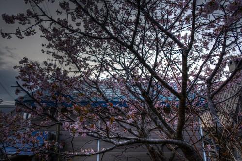 13-05-2020 sakura in morning (1)