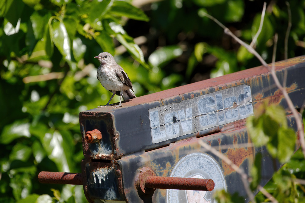 mockingbird10