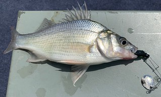 Photo of a nice white perch