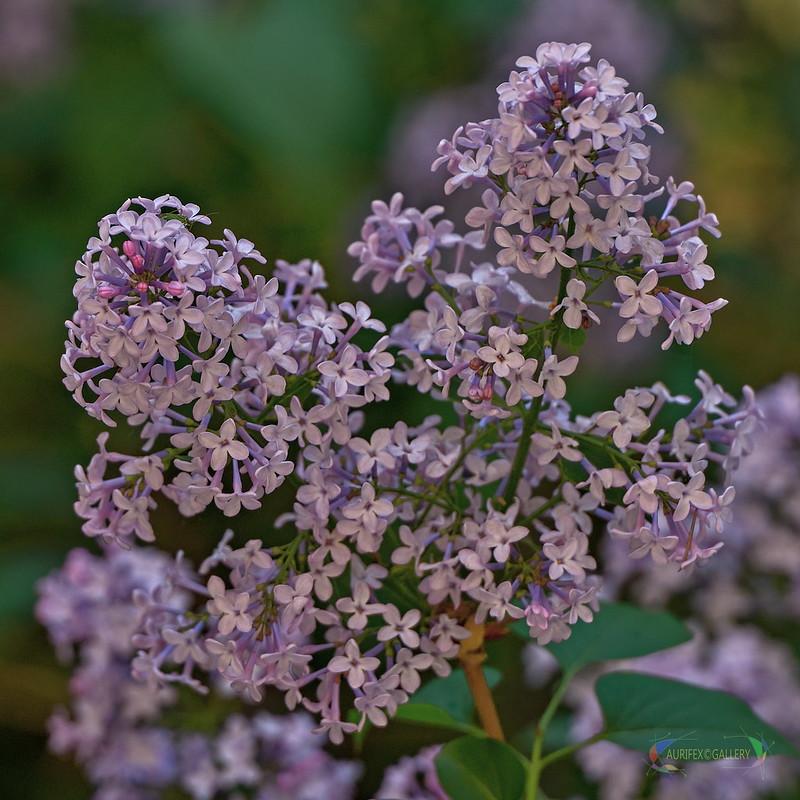 Twig of lilac